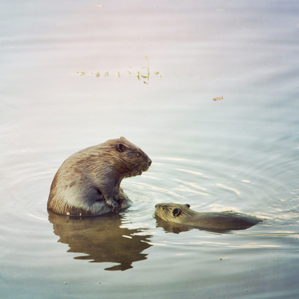 Beaver Family in Water