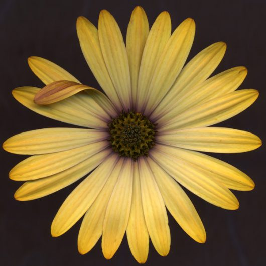 Yellow Aster Scanner Photography