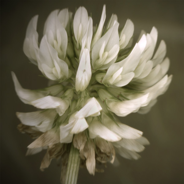 White Clover Scanner Photography Print
