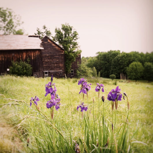 Barns with Purple Irises Photo Tile