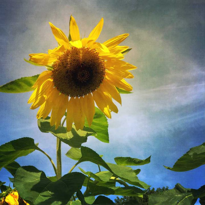 Bright Sunflower Photo Tile