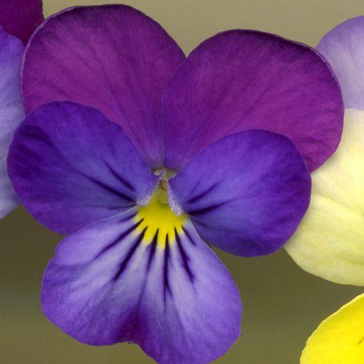 Dark Purple Pansy Scanner Photography Print
