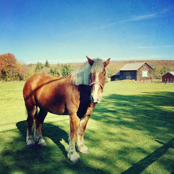 Draft Horse Photo Tile