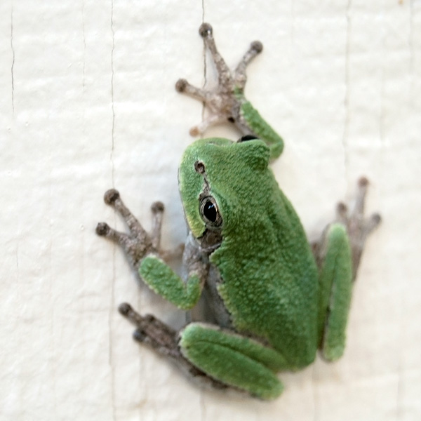 Green Tree Frog Photo Tile