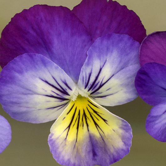 Variegated Pansy Scanner Photography Print